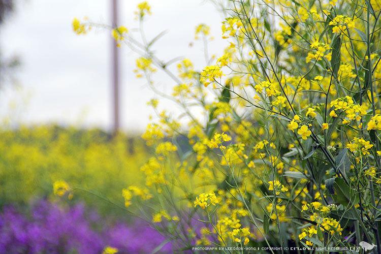 서래섬 유채꽃