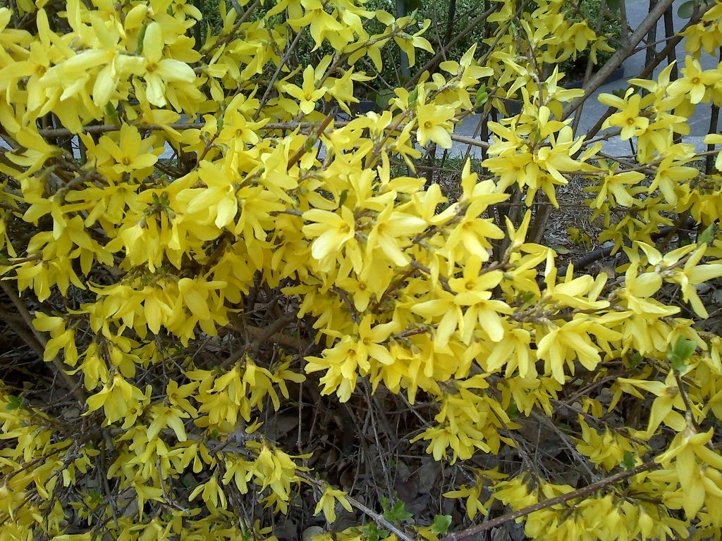 봄 꽃 : 개나리