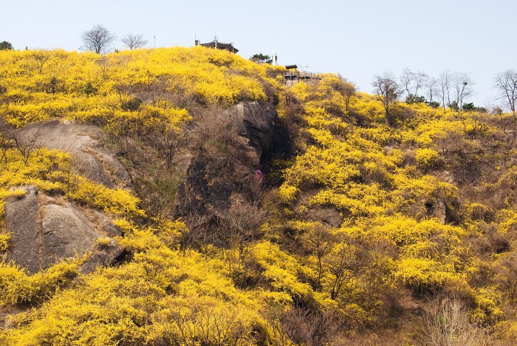 개나리 꽃이 피었습니다(2010.04.08 서울 응봉산)