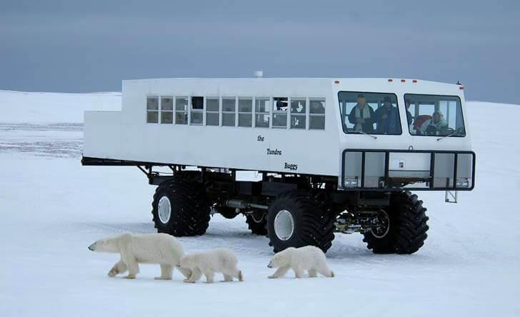 캐나다 북극곰 관찰 투어입니다