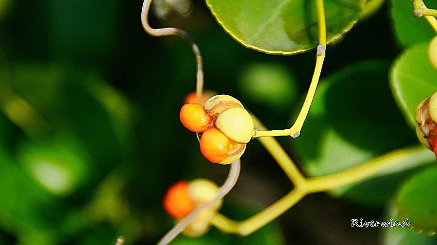 사철나무열매