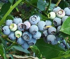 블루베리 Blueberry