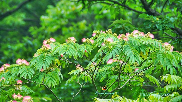 자귀나무 꽃
