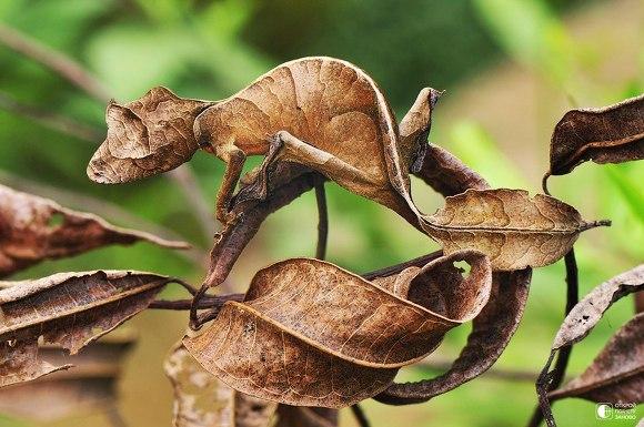 Satanic leaf-tailed gecko Uroplatus phantasticus