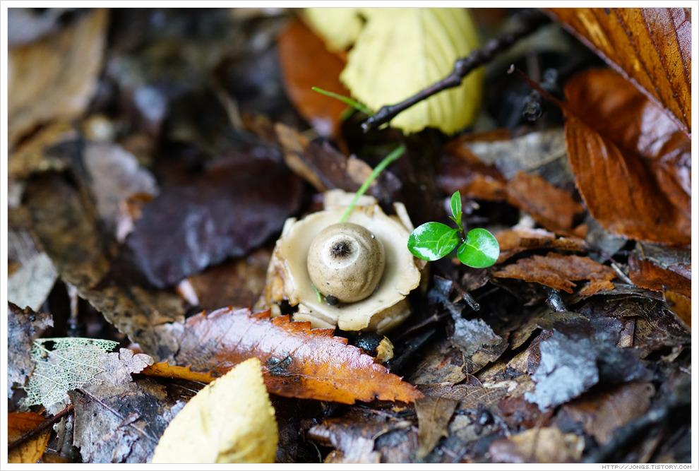[흰색, 회색, 10월] 가을비와 함께 온 방귀버섯(테두리방귀버섯 추정)