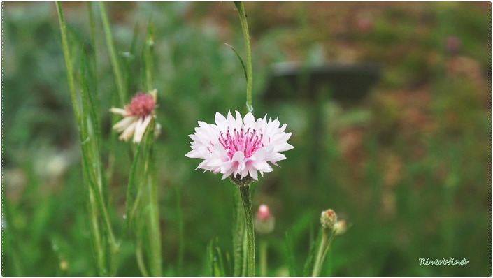 콘플라워(Coneflower-Echinacea). 수레국화(Centaurea cyanus L.)