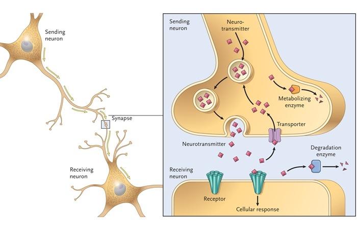 사진: 뇌의 신경전달물질에 작용하는 도파민에 대해 설명이 된 이미지. 조현병의 유전이나 증상에 도파민이 관련되어 있다는 것이 밝혀졌다. [조현병의 원인과 유전병 관계]