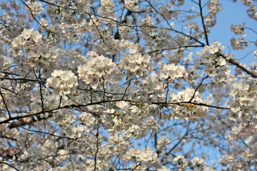 대전벚꽃명소 테미공원 벚꽃