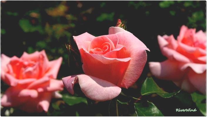 섬머 레이디 장미(Summer lady rose).サマー レディ