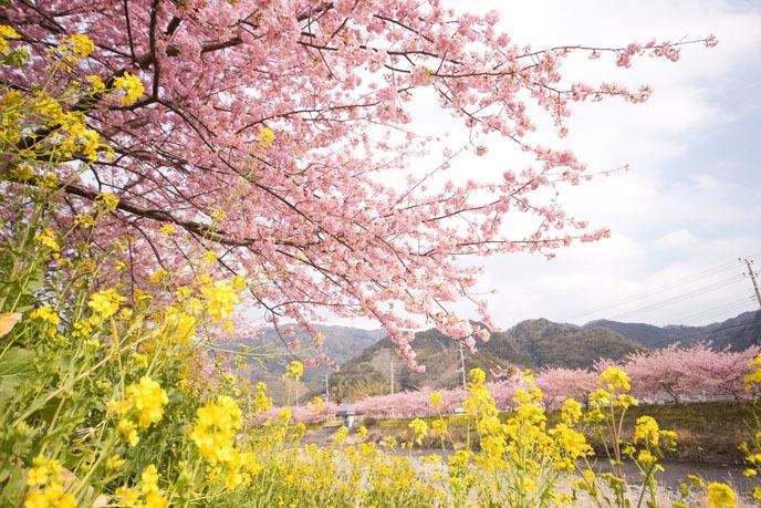 2016 벚꽃축제 ② 제주 왕벚꽃축제