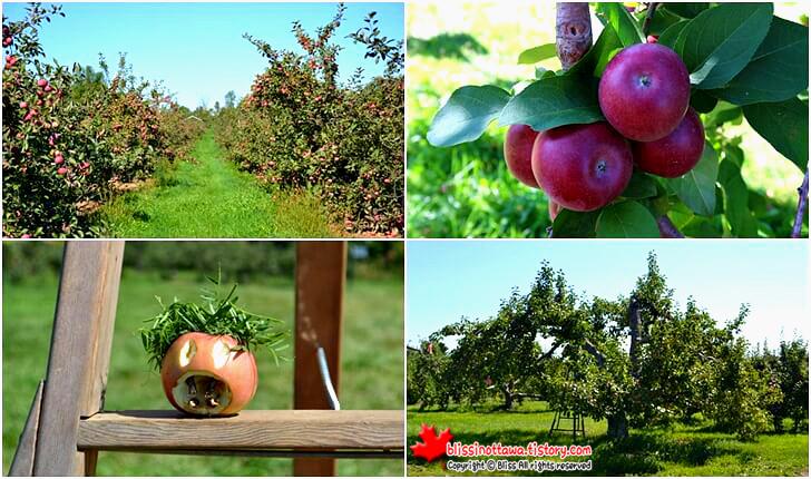 매킨토시 사과