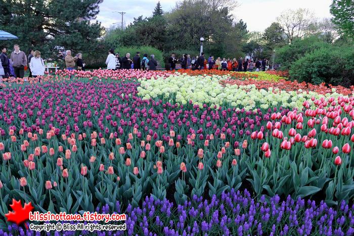 캐나다 튤립축제 Canada Ottawa Tulip Festival
