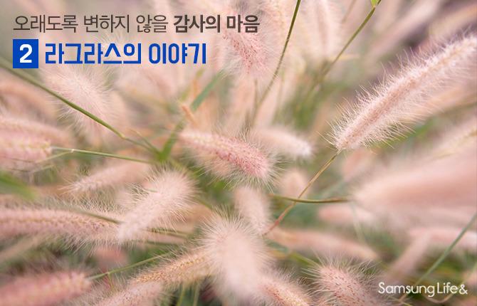 강아지풀 라그라스 꽃말 프리저브드 드라이플라워