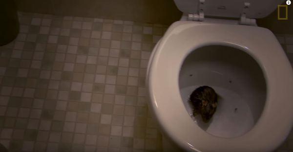 화장실 변기 속 쥐