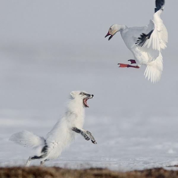 동물 부문 1위. 공격(Sergey Gorshkov)
